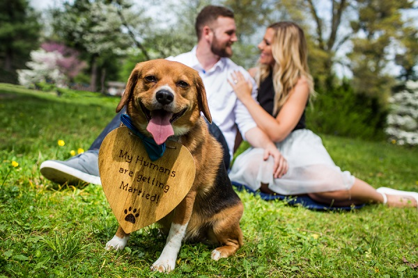 Beagle mix wearing heart shaped sign, engaged couple in background