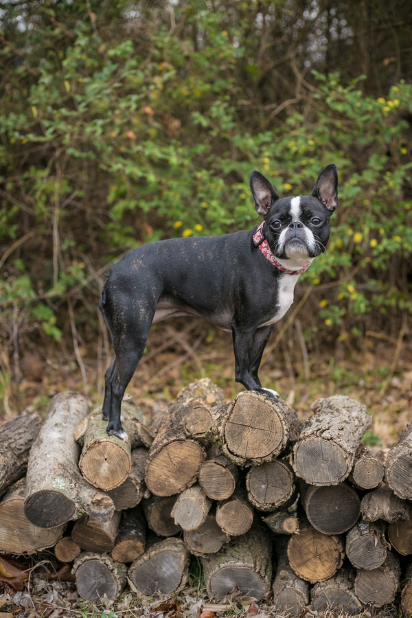 Frenchie mix standing on wood pile, ©K Schulz Photography, lifestyle dog photography Nashville,, TN