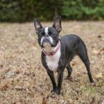 Happy Tails: Nellie the Boston Terrier Mix