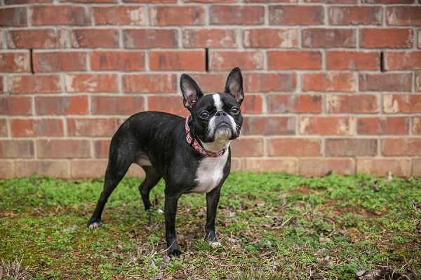 Frenchton mix, ©K Schulz Photography, lifestyle dog photography Nashville,, TN