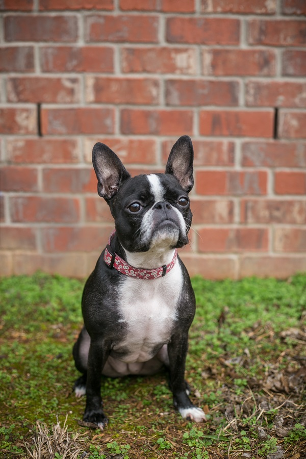 Boston Terrier/French Bulldog mixed breed sitting in front of brick wall, ©K Schulz Photography, lifestyle dog photography Nashville,, TN
