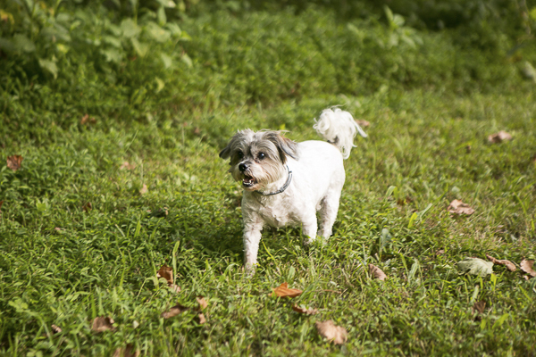 cute Shih Tzu Maltese mix walking on grass, lifestyle dog photography ©Mandy Whitley Photography