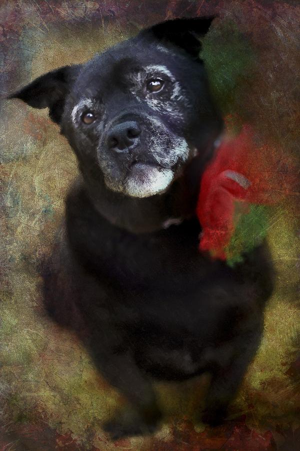 sweet senior dog portrait ©Steffi Smith   For The Love Of Art