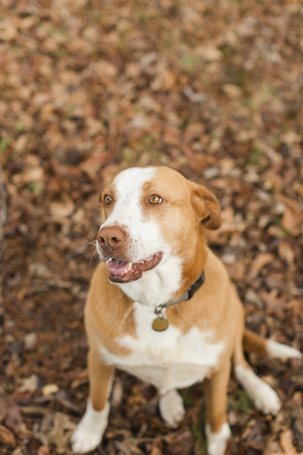 Lovely Adoptable Hound mix via A Forever Home Rescue Foundation, Photos by Megan Rei Photography