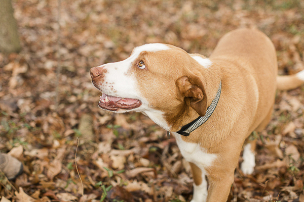 Adoptable Hound mix via A Forever Home Rescue Foundation, Photos by Megan Rei Photography