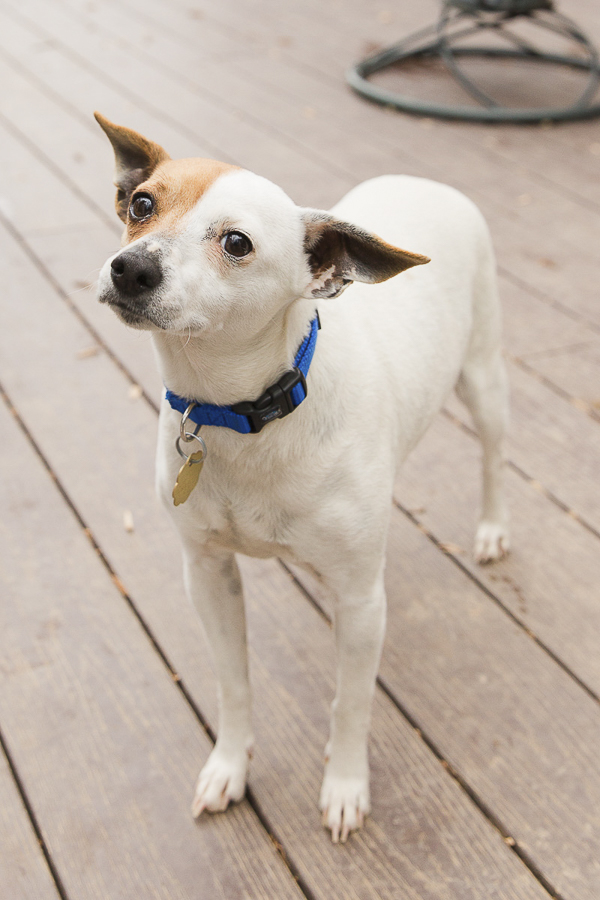 Adoptable Jack Russell/Rat Terrier mix via A Forever Home Rescue Foundation, Photos by Megan Rei Photography