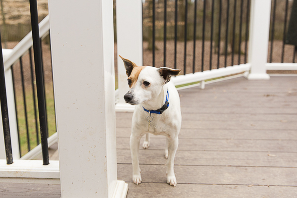 Adoptable Jack Russell mix via Forever Home Rescue Foundation, Photos by Megan Rei Photography