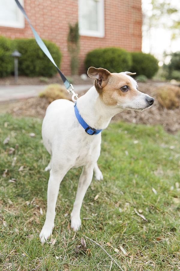 Adoptable Jack Russell mix via A Forever Home Rescue Foundation, Photos by Megan Rei Photography