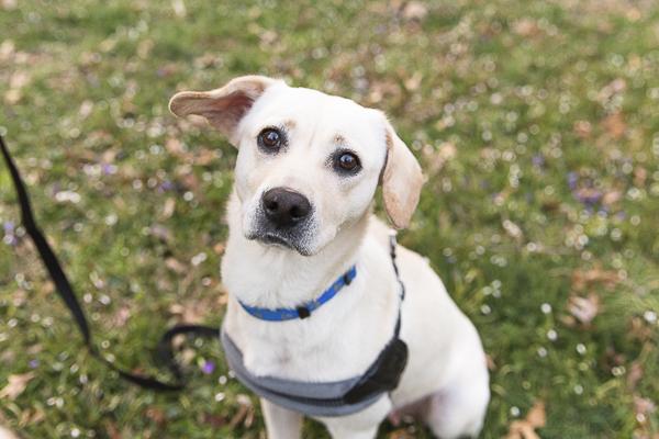 Adoptable Labrador Retriever A Forever Home Rescue Foundation, Photos by Megan Rei Photography