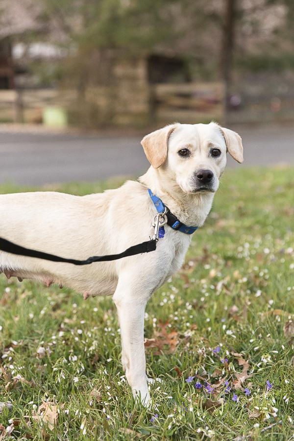 Adoptable Retriever Mix-©Megan Rei Photography | Adoptable dogs A Forever Home Rescue Foundation