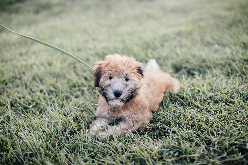 cute Wheaten Terrier puppy lying on grass