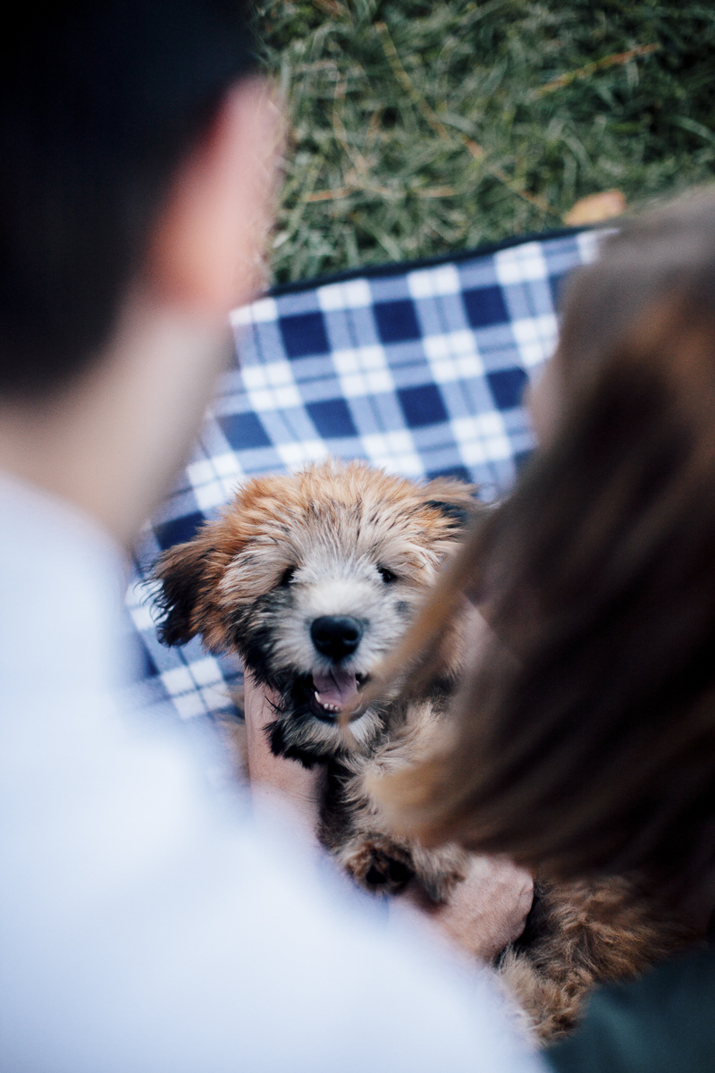 Wheaten Terrier puppy on gingham blanket, ©Laura Memory Photography | lifestyle dog photography