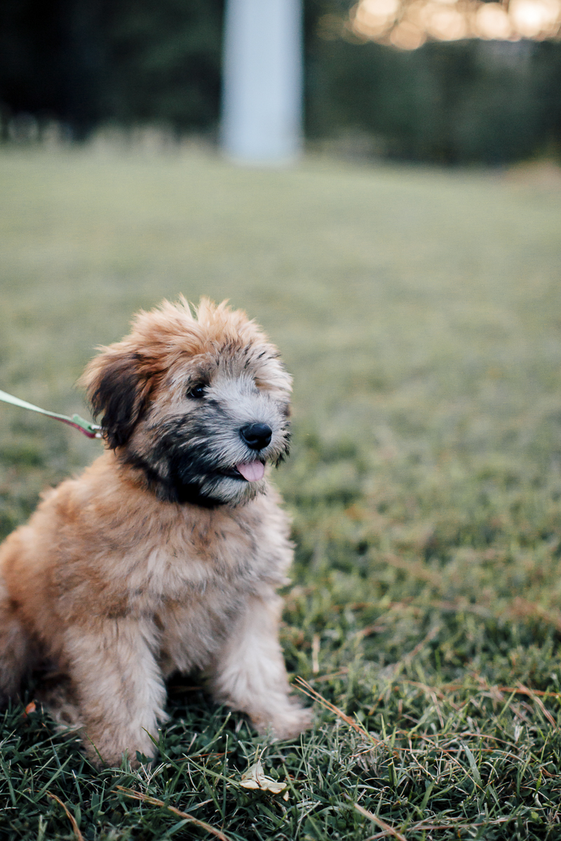 fluffy pup, Wheaten Terrier puppy sitting on grass, ©Laura Memory Photography | Raleigh, NC lifestyle dog photographer