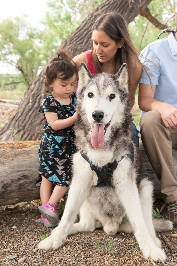 toddler girl, parents and senior Malamute,
