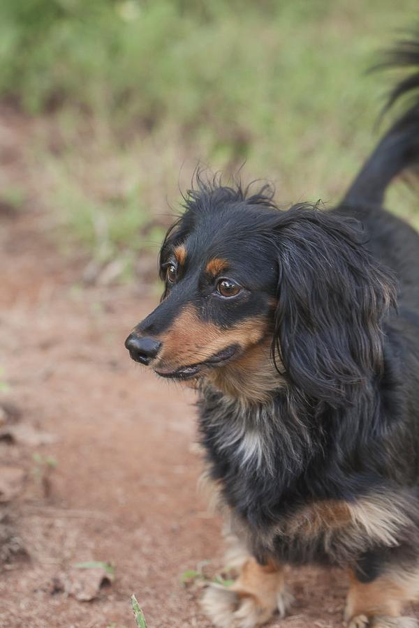 long haired Dachshund, lifestyle dog photography