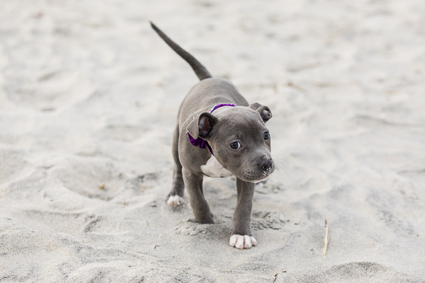 adorable tiny puppy on the beach, American Bully pup, ©Erin Costa Photography