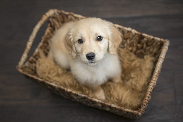 Golden Retriever puppy in a basket, lifestyle dog photography