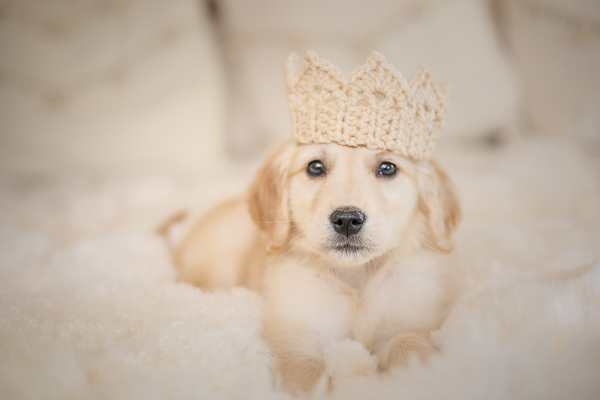 Golden Retriever puppy wearing crocheted crown, lifestyle puppy portraits