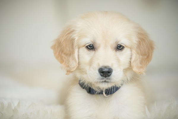 adorable Golden Retriever puppy, lifestyle Nashville dog photography