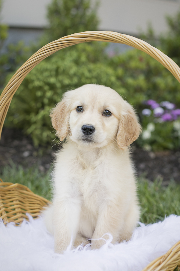 puppy in a basket, Golden Retriever puppy