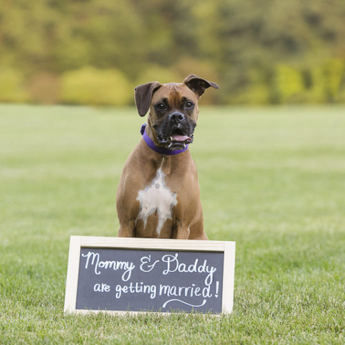 Engaging Tails:  Mia the Boxer in New England