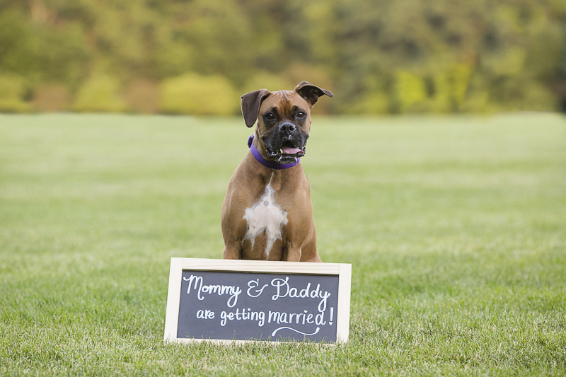 Boxer and wedding announcement sign, ©Moments By Melanie | engagement photos with Boxer in New England