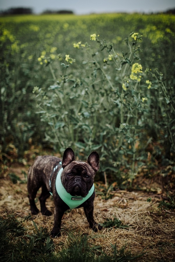 Dog standing next to field, ©Wild Connections Photography | lifestyle dog portraits