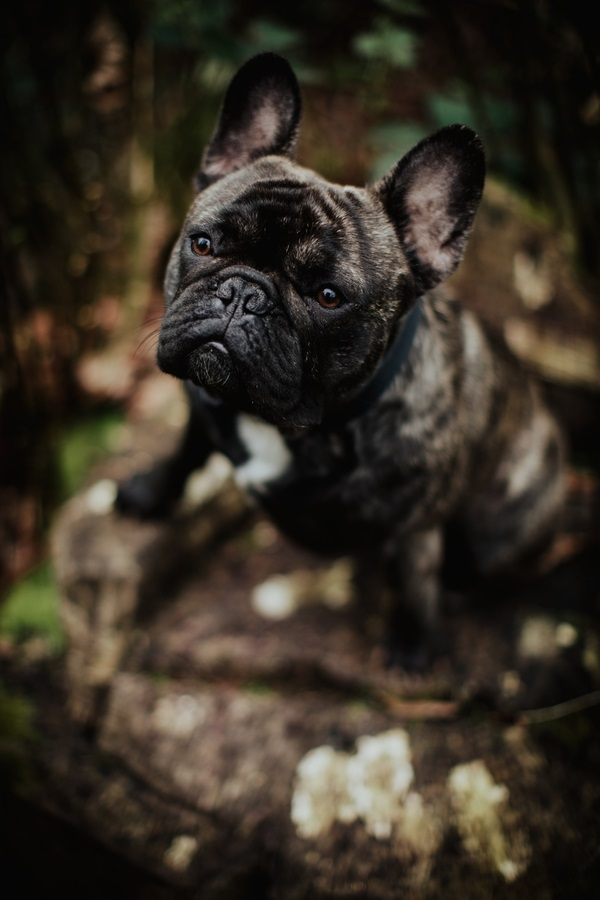 Frenchie sitting on stump ©Wild Connections Photography | lifestyle dog photography