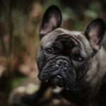 Happy Tails:  Winston the French Bulldog