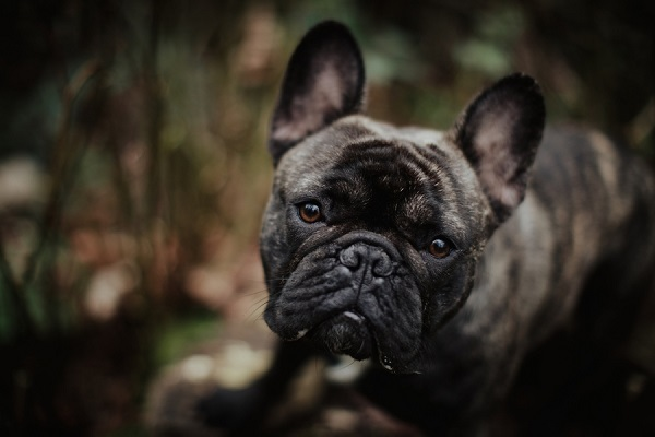 adorable French Bulldog, ©Wild Connections Photography | lifestyle dog portraits