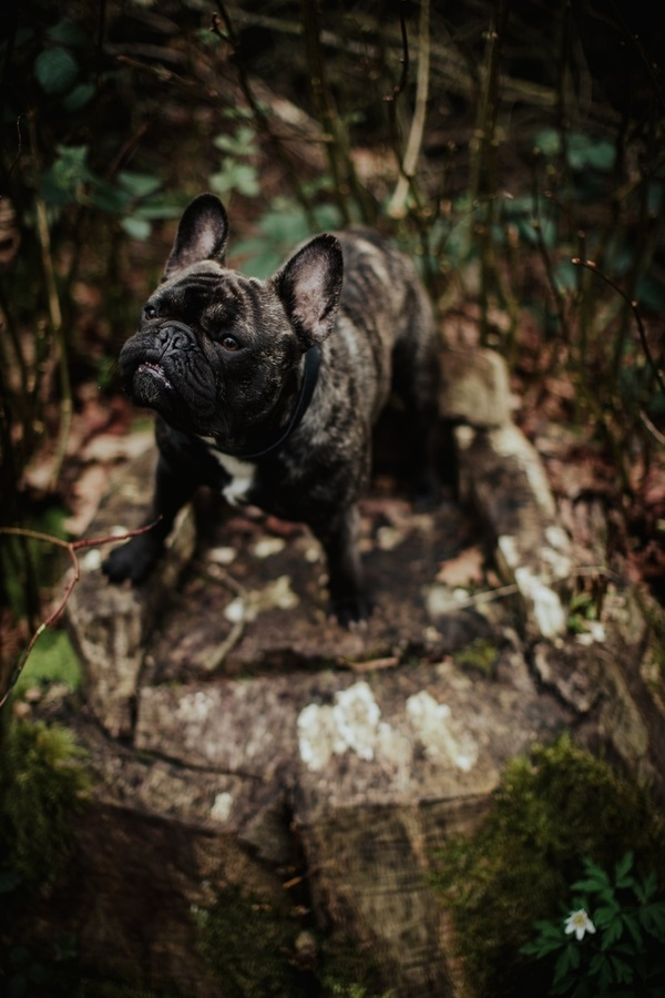 on location dog photography, French Bulldog standing on stump, ©Wild Connections Photography