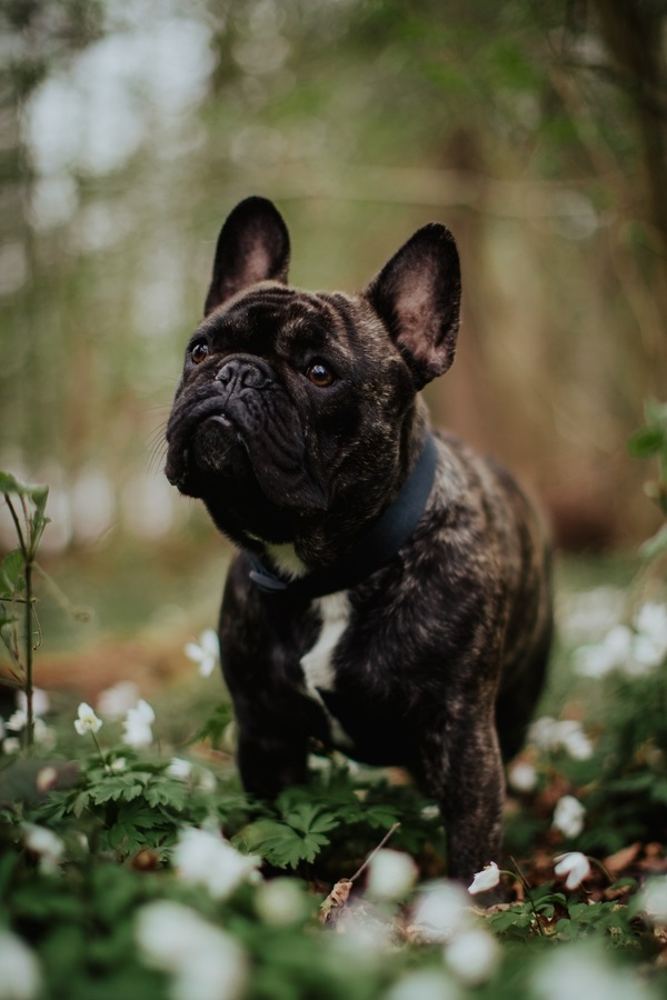 Frenchie standing in small white flowers, ©Wild Connections Photography | lifestyle dog photographer