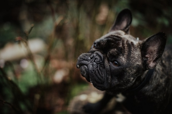 French bulldog, ©Wild Connections Photography | lifestyle dog portraits
