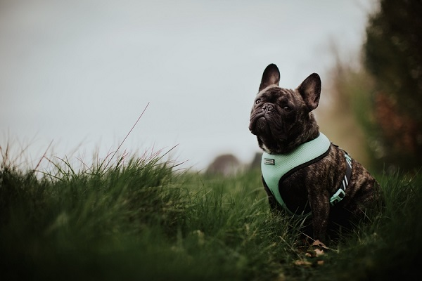 French Bulldog wearing green harness sitting in grass at edge of woods, ©Wild Connections Photography | lifestyle dog portraits