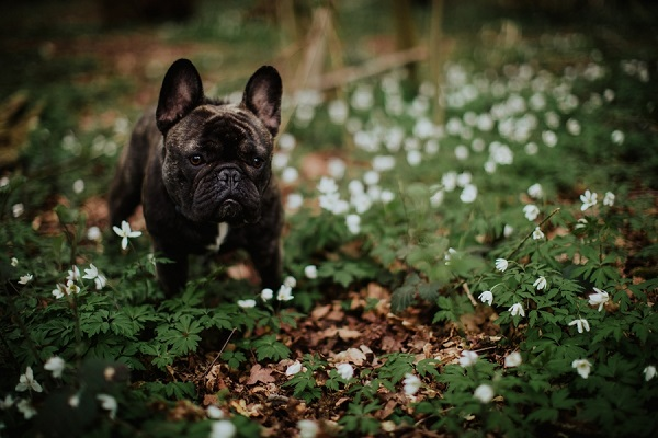 dog standing in flowers, Frenchie, ©Wild Connections Photography | lifestyle dog portraits