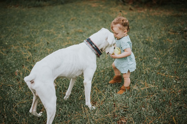 White boxer and toddler with ball, end of life photos, ©Love Mary Beth Photography | Panama City, documentary dog photography