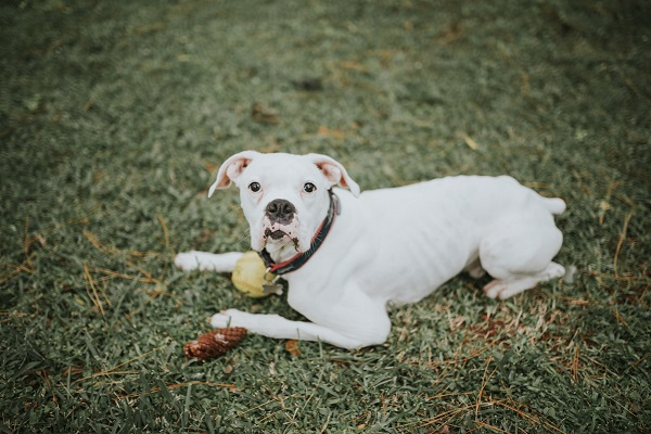 White Boxer, end of life session with dog, canine lymphoma