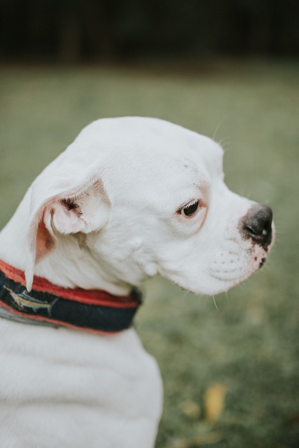 handsome white Boxer, end of life photography session, ©Love Mary Beth Photography