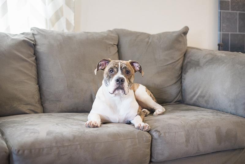 white Brindle Bulldog mix on sofa, lifestyle dog portraits