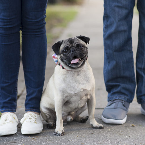 Engaging Tails:  Thor the Rescued Pug
