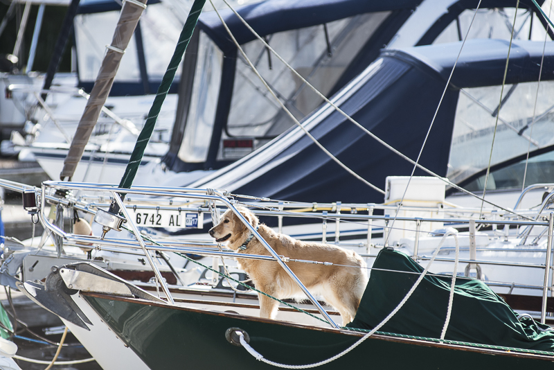 reasons to hire a professional pet photographer | Alice G Patterson Photography, Golden Retriever on bow of boat