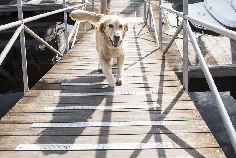 Golden Retriever running up ramp