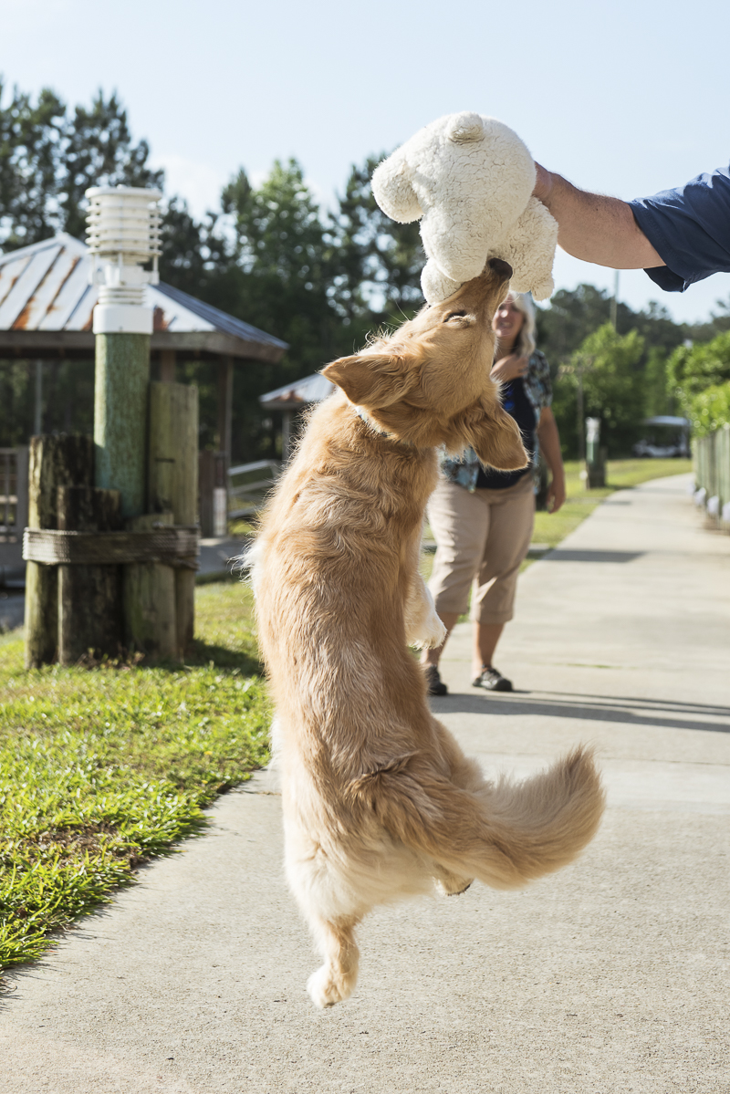 Golden Retriever jumping for stuffed animal, dog playing with toy, lifestyle dog photography ©Alice G Patterson Photography