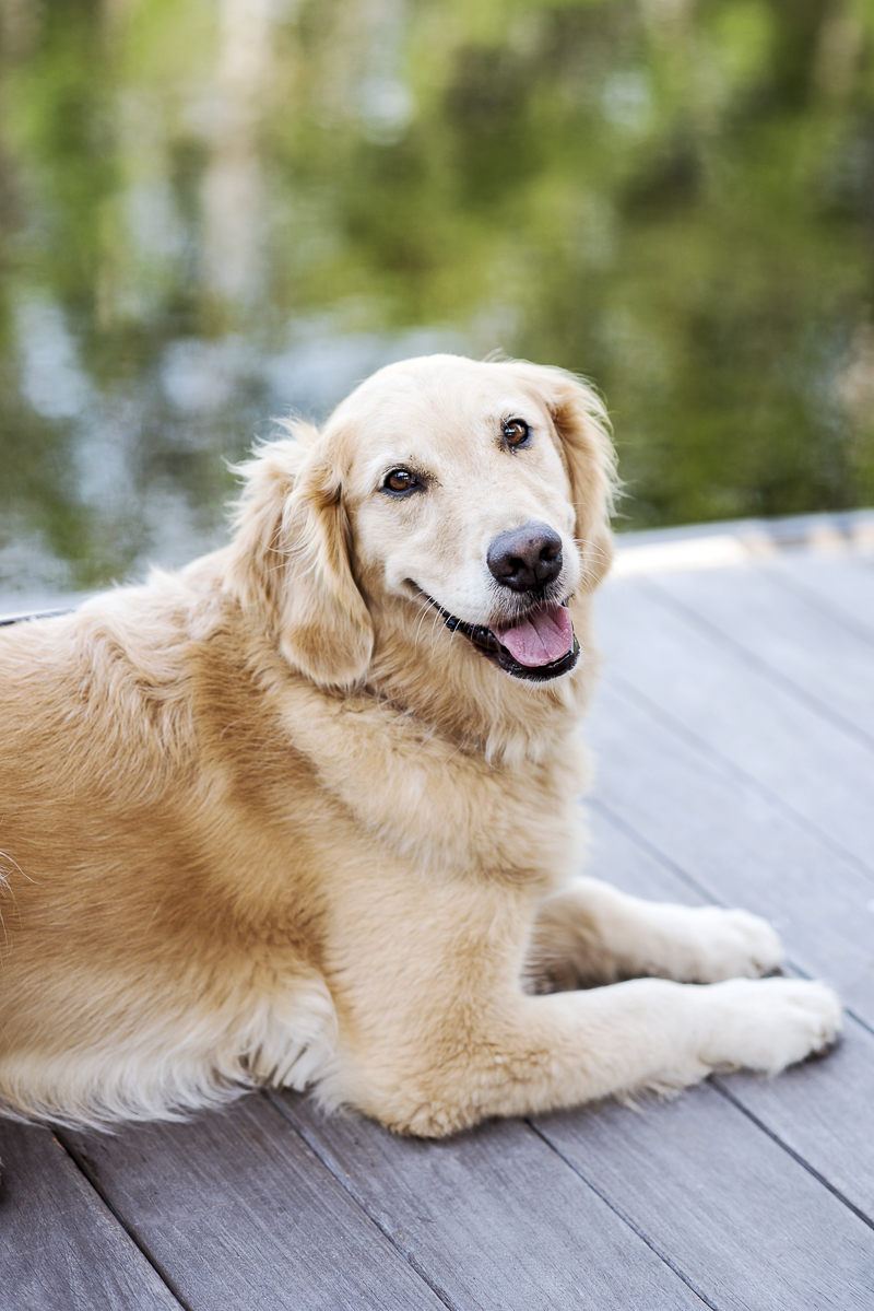 Golden Retriever on a dock, lifestyle dog photography