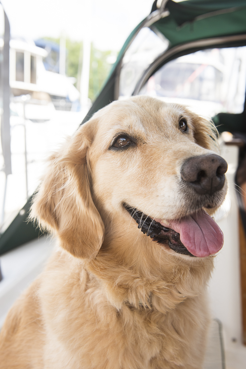 Honey the Golden Retriever on sailboat, Lifestyle dog photography by ©Alice G Patterson Photography