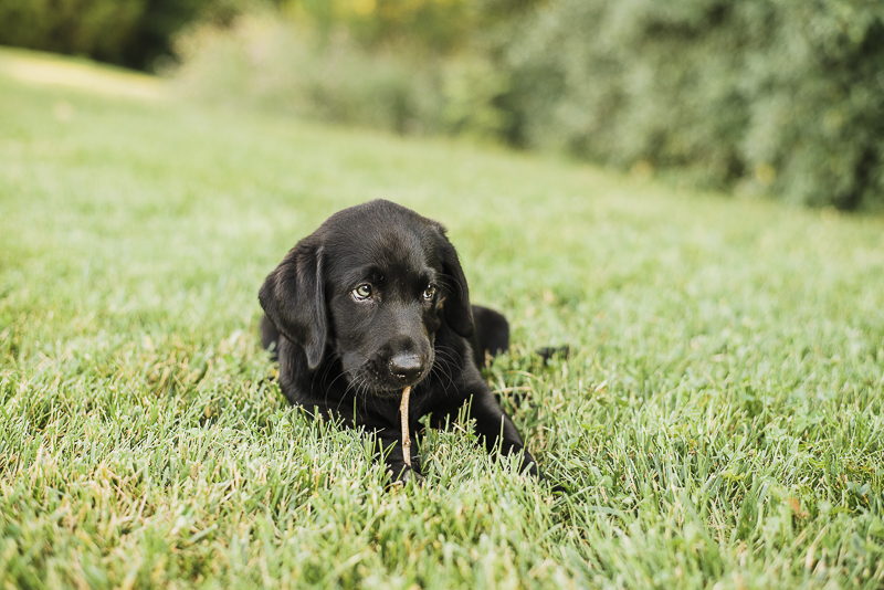 adorable black lab puppy chewing on stick in the grass, one green eye, one brown eye ©Emily Marie Photography