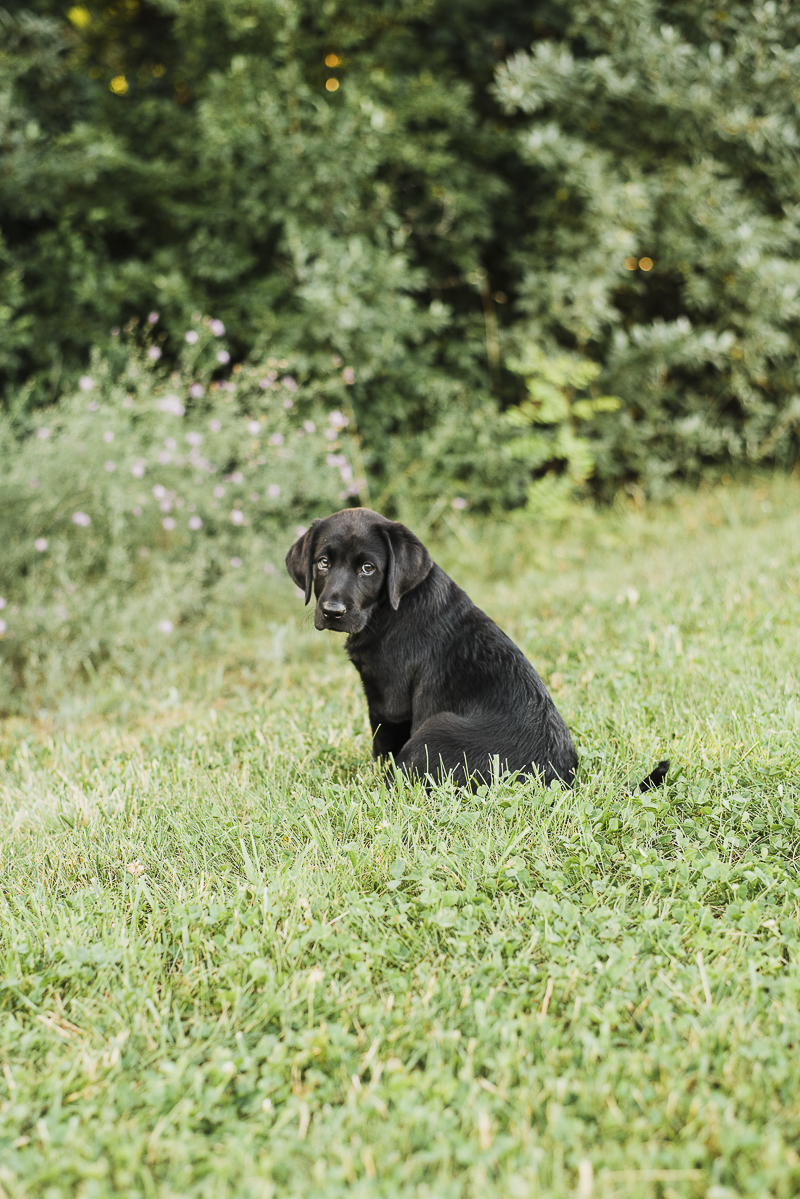 adorable Black Lab puppy, dog photography, ©Emily Marie Photography, Culpeper ,VA photographer