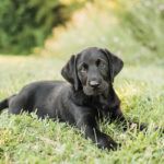 Puppy Love: Watson the Black Lab's Welcome Home Session