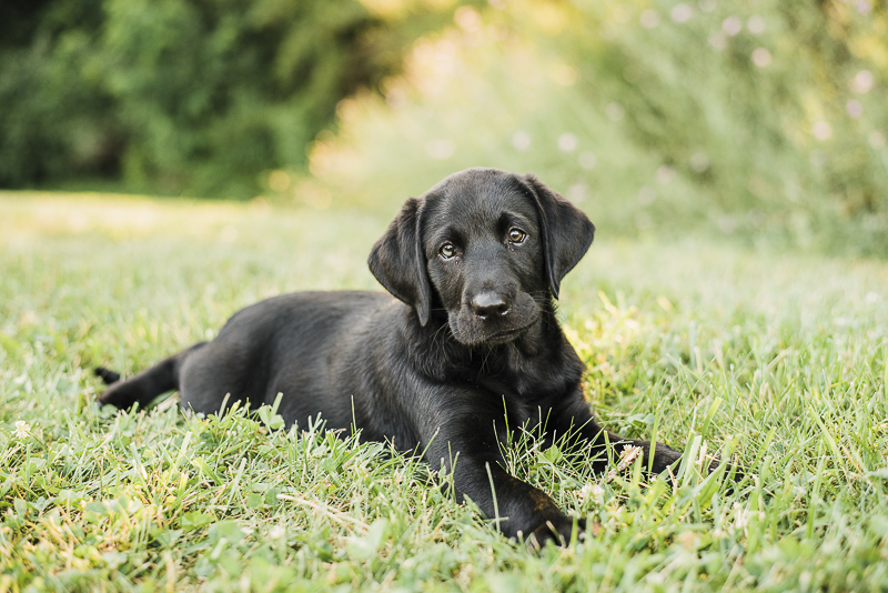 adorable Black Labrador Retriever puppy in grass, ©Emily Marie Photography, modern dog photography, fine art photography