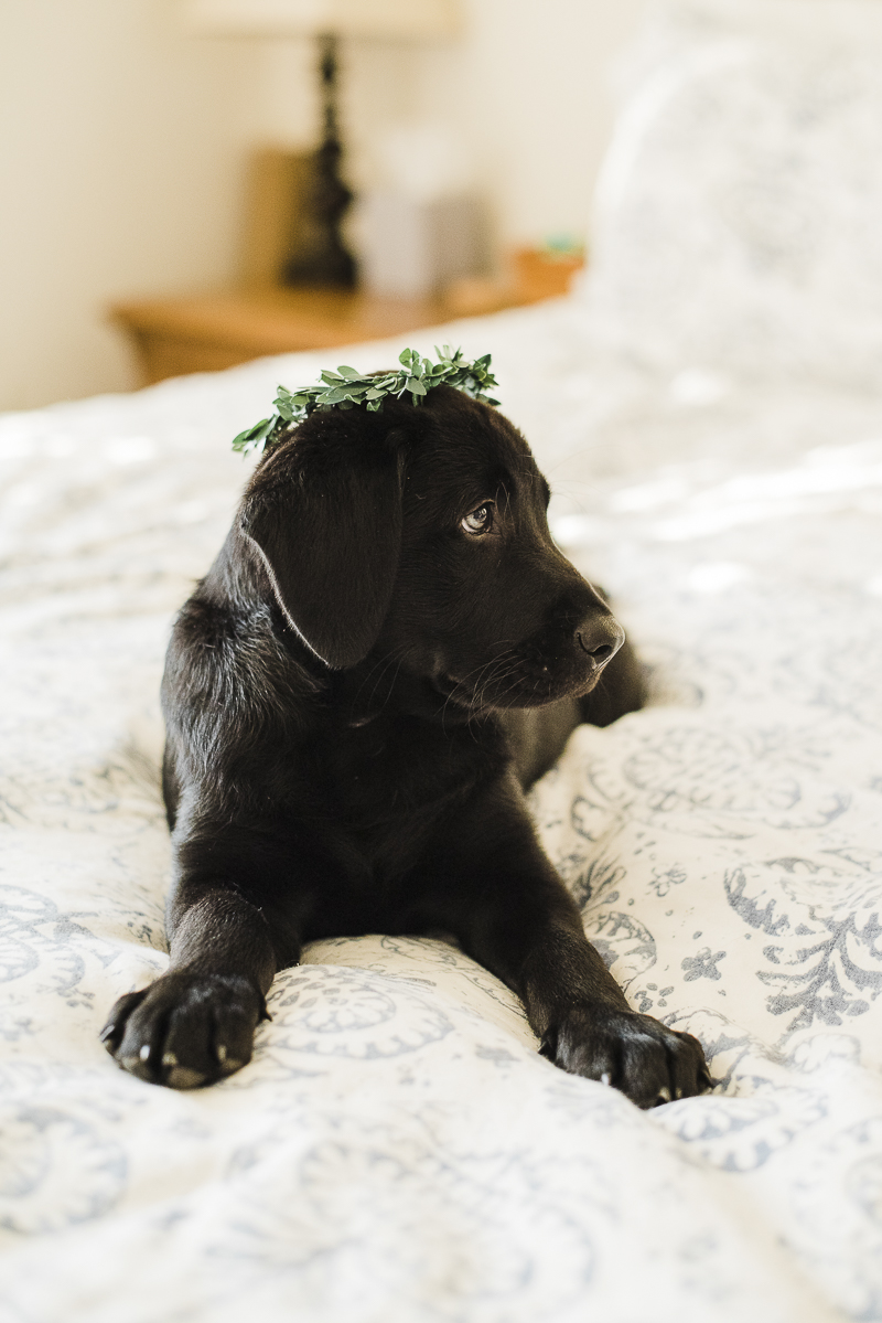 adorable black lab puppy wearing crown, newborn style photos of puppy, ©Emily Marie Photography, Culpeper ,VA photographer
